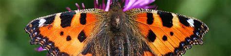 Schmetterlinge Im Garten Und Im Siedlungsgebiet Gartench