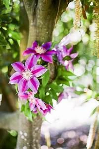 Paisaje con flores clematis :: Imágenes y fotos
