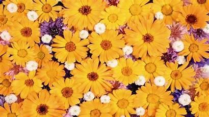 Daisy Yellow Flowers Wallpapers Daisies Flower Desktop