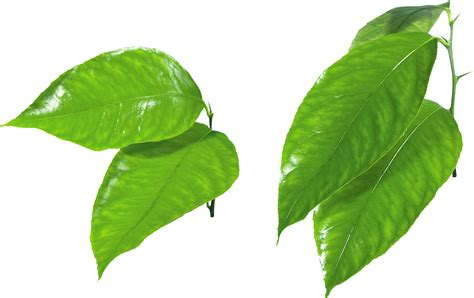 young leaf light green leaf vine clipart clipground