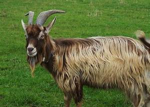 Breeding Toggenburg Goats For the First Time | Moonshire ...