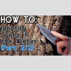 How To Identify Trees In The Winter (part 2) Youtube
