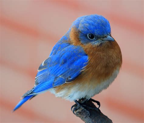 Lets Keep Those Ohio Bluebirds Flying!  By Blue Bird Pete
