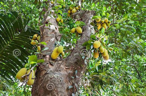 jack fruit viveros amberes