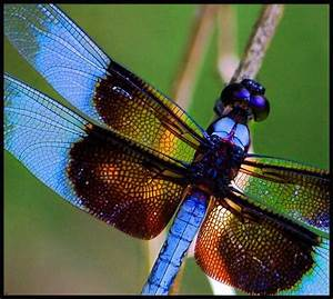 86 Best Images About Dragonflies On Pinterest