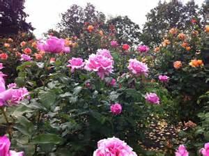 The Rose Garden San Jose by Hybrid Tea Rose Wilson Rose Garden