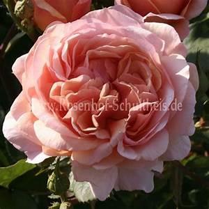 Rosen Düngen Im Frühjahr : ausfather rosen online kaufen im rosenhof schultheis rosen online kaufen im rosenhof schultheis ~ Orissabook.com Haus und Dekorationen