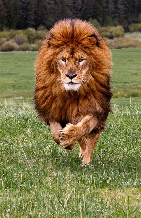 """691 Best Images About My """"'leo Lion """"'"""" Strong On"""