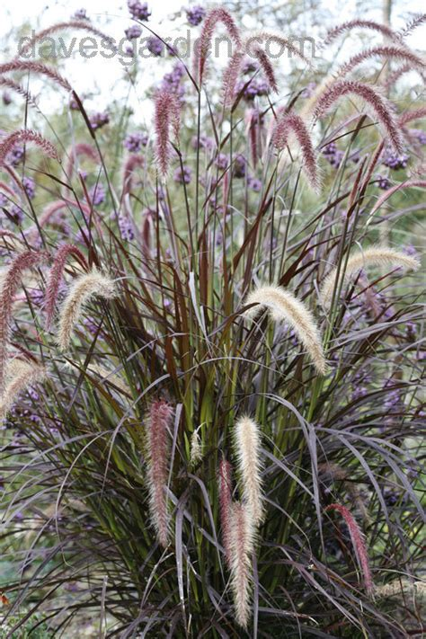 purple grasses here is my collection landscaping with purple fountain grass