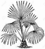 Livistona Palm Sabal Plant Drawing Clipart Rainforest Sketch Australis Pianta Plante Pflanze Biome Fotosearch Coloring Chou Kohl Clip Sketches Calvin sketch template