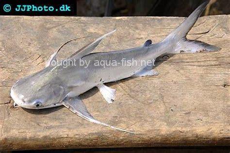 saltwater fish   eat poisonous fish