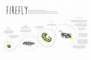 Firefly Infographic On Behance