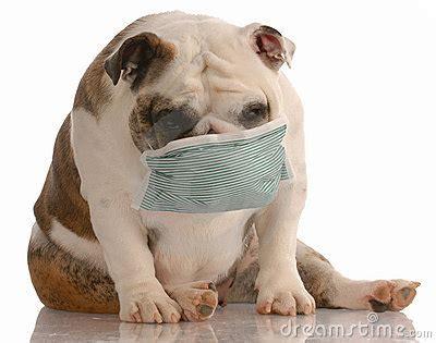 dog wearing medical mask stock photography image