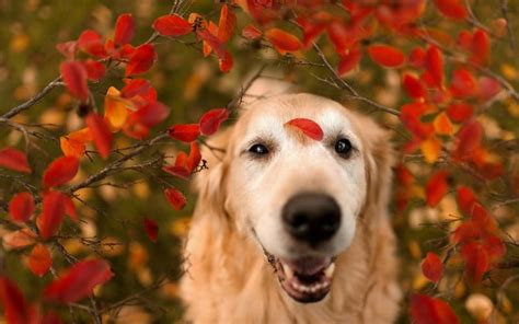Fall Backgrounds Dogs by Golden Retriever Wallpaper Android Apps On Play