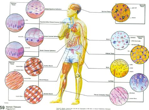 human tissues biological science picture directory