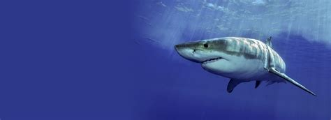 great white shark dive cage dive with great white sharks 187 scuba dive courses