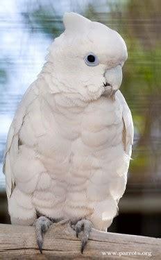 ducorps corella cockatoo infocom