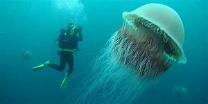 Biggest Jellyfish In The World