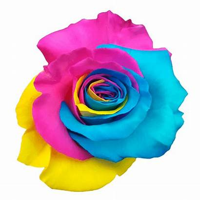 Rainbow Roses Colores