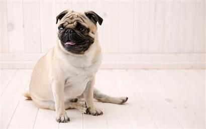 Pug Sitting 1440 Wallpapers