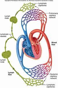 Biochemistry 1520  U0026gt  Muscolino  U0026gt  Flashcards  U0026gt  Circulatory