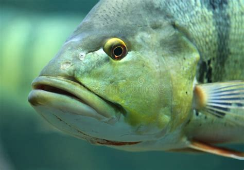 fish face stock photo image