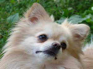 Pomeranian Dog Screensavers Free