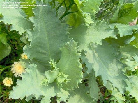 poppy leaves image gallery opium poppy leaves