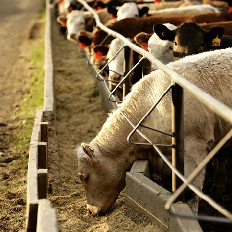 cme feeder cattle u s livestock technical selloff upends cme live cattle