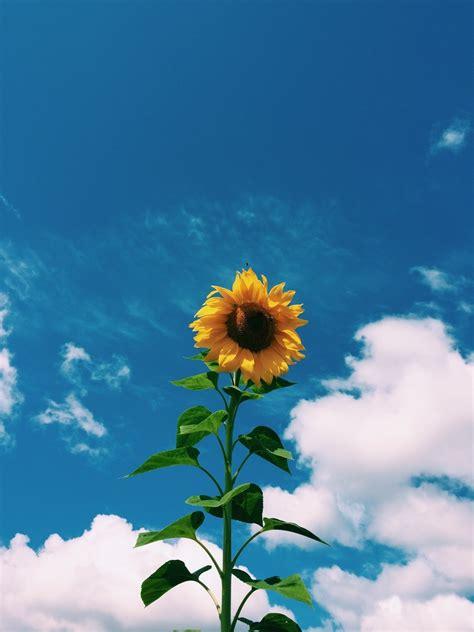 vintage soft grunge sunflower