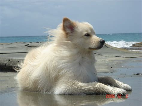 Wow A Golden Retriever With Samoyed Mix Shes Beautiful