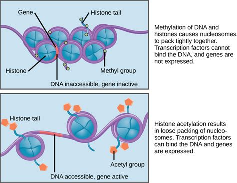 Modification Histone by Difference Between Dna And Histone Methylation Dna Vs