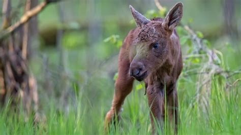 Residents Comb Fernie, B.c., For Orphaned Baby Moose