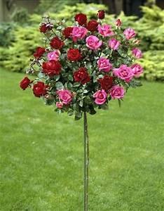 Pflanze Mit Stacheln : warum haben rosen keine dornen ~ Frokenaadalensverden.com Haus und Dekorationen