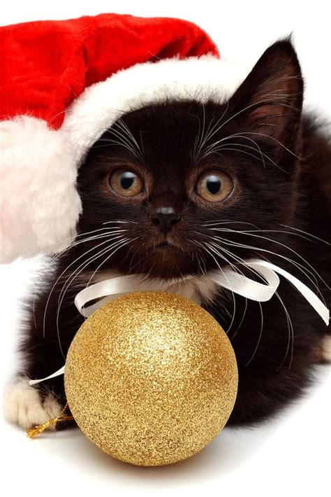 the 10 cutest christmas cats holidaycat3 cute attack pinterest baby pets and kittens