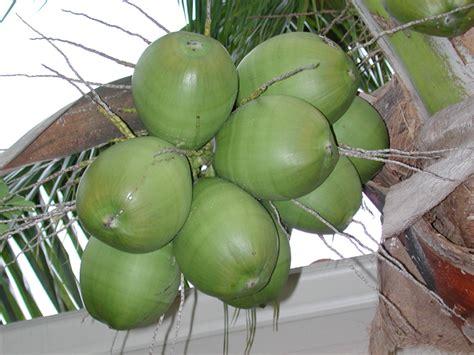 green coconut cocos nucifera coconut palm