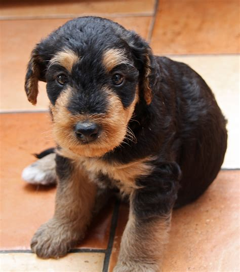 File Puppy Airedale Terrier Jpg Wikimedia Commons