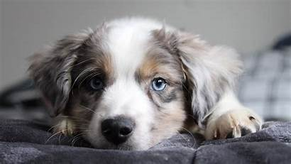Collie Border Puppy Cutest 4k Wallpapers Dogs