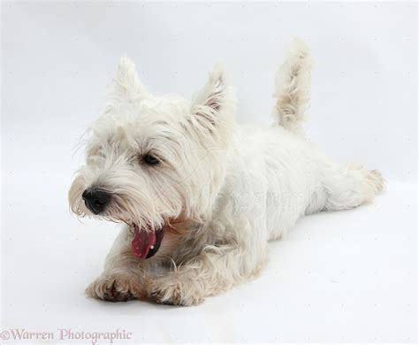 Apparently i tapped into a vein of searchers, as betty white highlander has been the most popular search term to point to my site in the past several days. Dog: Westie yawning photo WP20799