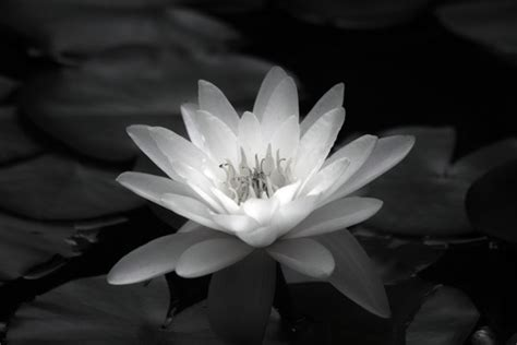 waterlily flora black  white photography  sale