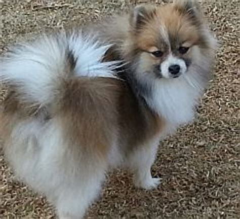 browdeen breeders  pomeranians  south africa toy poms