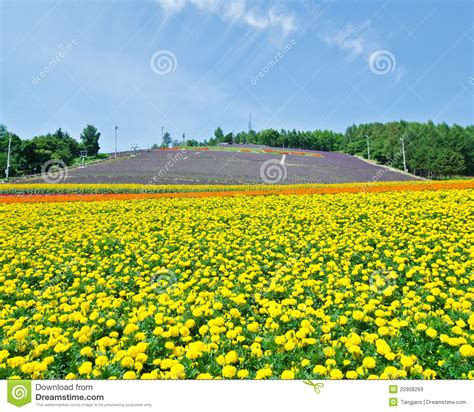 green small house plans biei and furano flower fields hokkaido stock image
