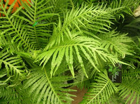 fern house plants mosquito fern search results dunia pictures