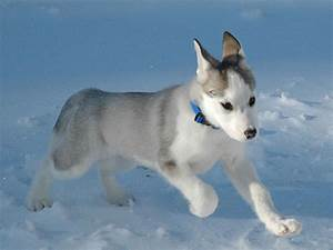 siberian husky dog breed wallpapers and cute little puppy ...