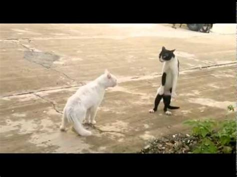 legend  cobra cat funny cats fighting cobra style