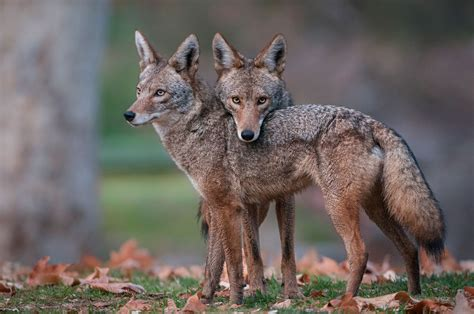 Wallpaper Animal Images - 44 coyote jackal animal photos hd wallpapers