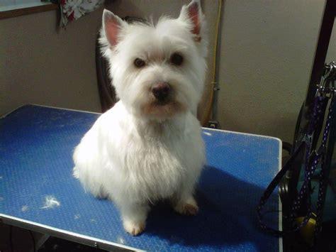 Westie Haircut