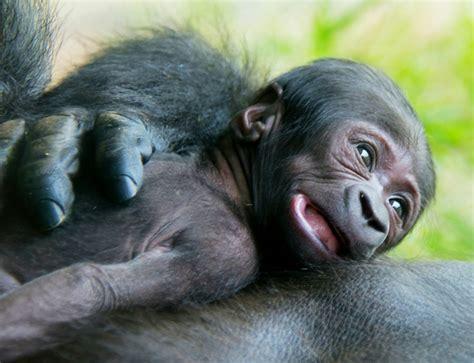 zoo riverbanks gorilla born lowland western zooborns