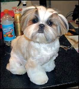 shih tzu grooming styles pictures haircuts yahoo image