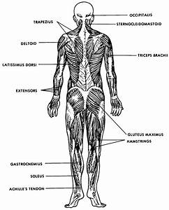 Images 05  Muscular System
